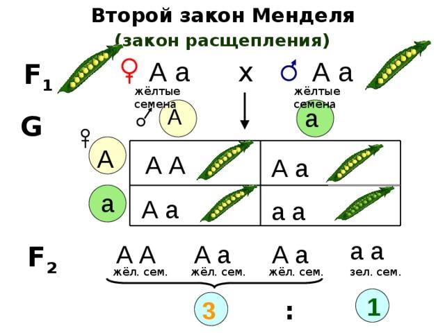 генотипы гороха с желтыми семенами